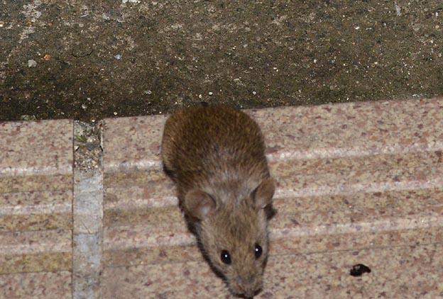 ハツカネズミの画像 p1_24