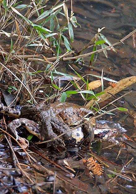 ニホンヒキガエルの画像 p1_35