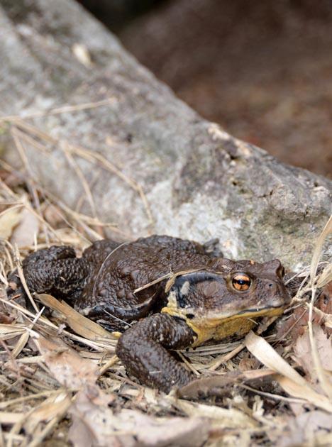 ニホンヒキガエルの画像 p1_32