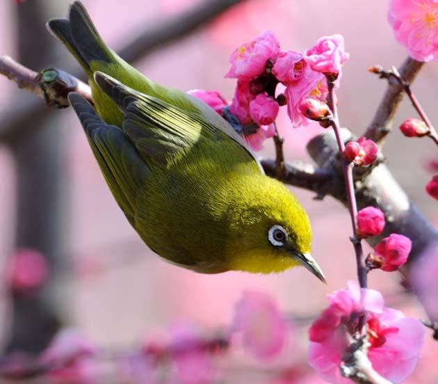 【梅や桜が似合う!】淡い緑が美しいメジロの高画質な画像まとめ