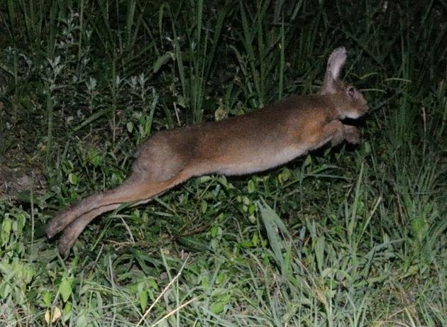 ニホンノウサギの画像 p1_6