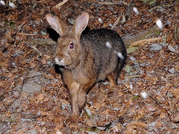 ニホンノウサギの画像 p1_20