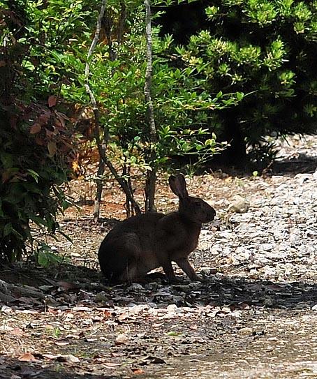 ニホンノウサギの画像 p1_32