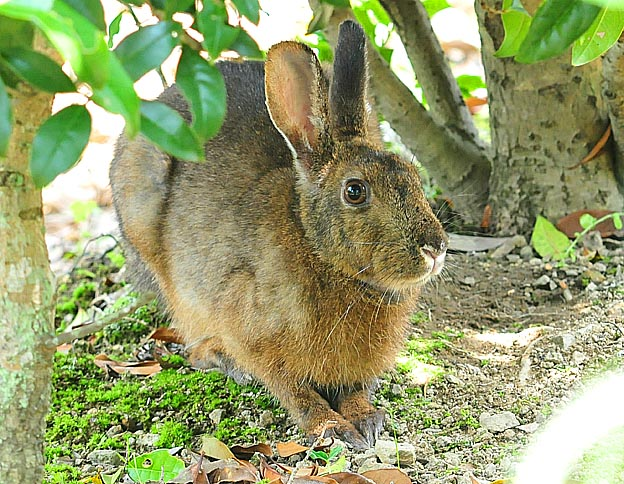 ニホンノウサギの画像 p1_21