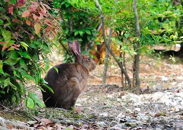 ニホンノウサギの画像 p1_19