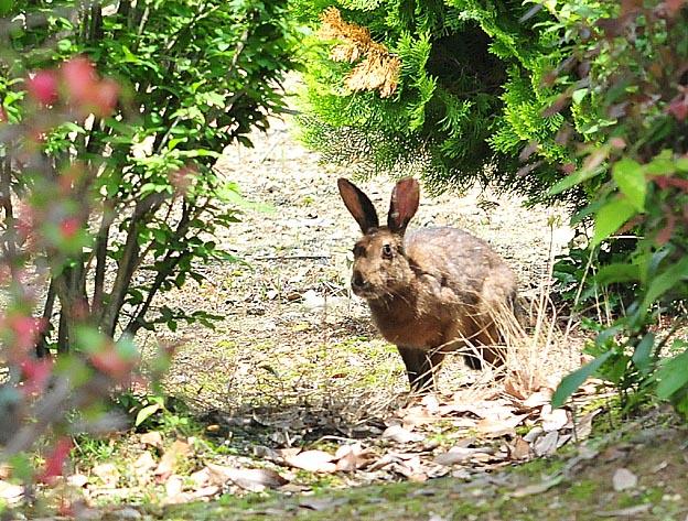 ニホンノウサギの画像 p1_27