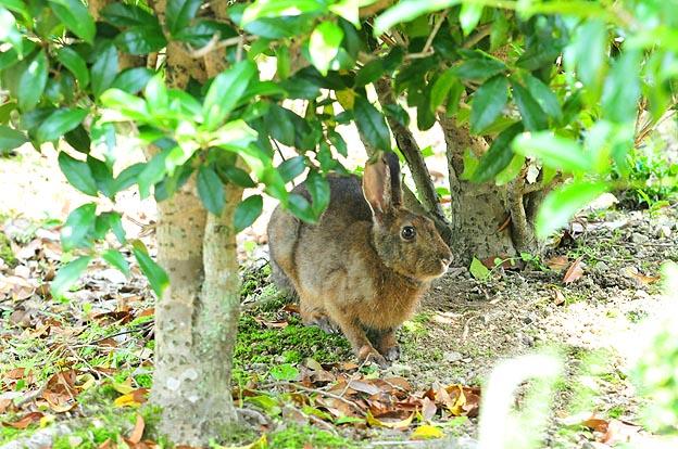 ニホンノウサギの画像 p1_18