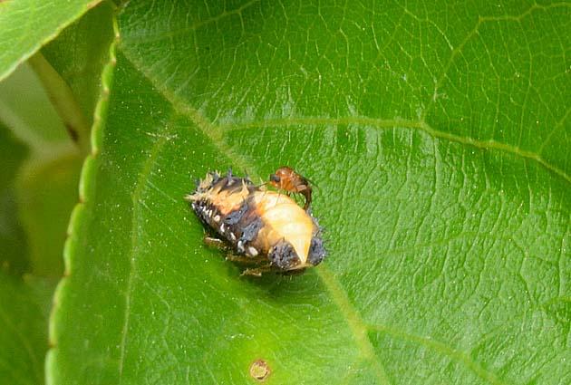 虫 さなぎ てんとう 黒いてんとう虫は害虫かもしれません!てんとう虫の種類と駆除まとめ|生活110番ニュース