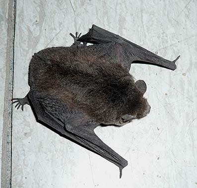 アブラコウモリの画像 p1_18