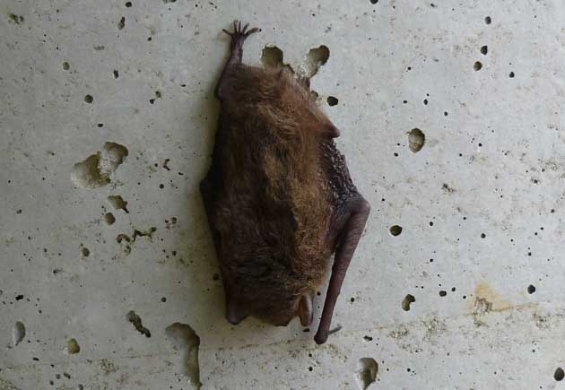 アブラコウモリの画像 p1_23