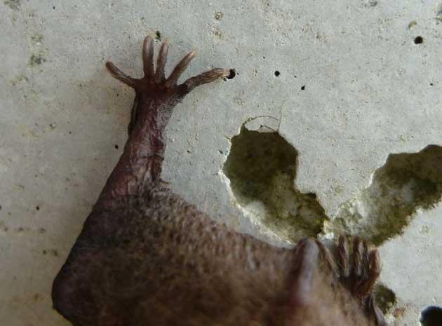 アブラコウモリの画像 p1_25