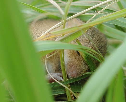 カヤネズミの画像 p1_27