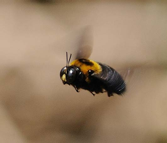 クマバチの画像 p1_28