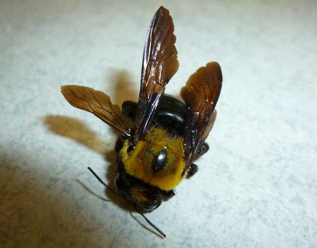 クマバチの画像 p1_11