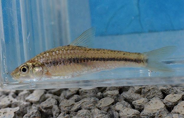 イトモロコ…武庫川の魚